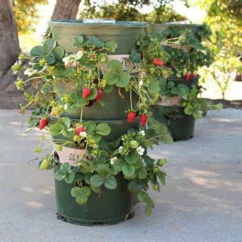 DIY strawberry tower from plastic flower pots - vertical garden (planting idea)